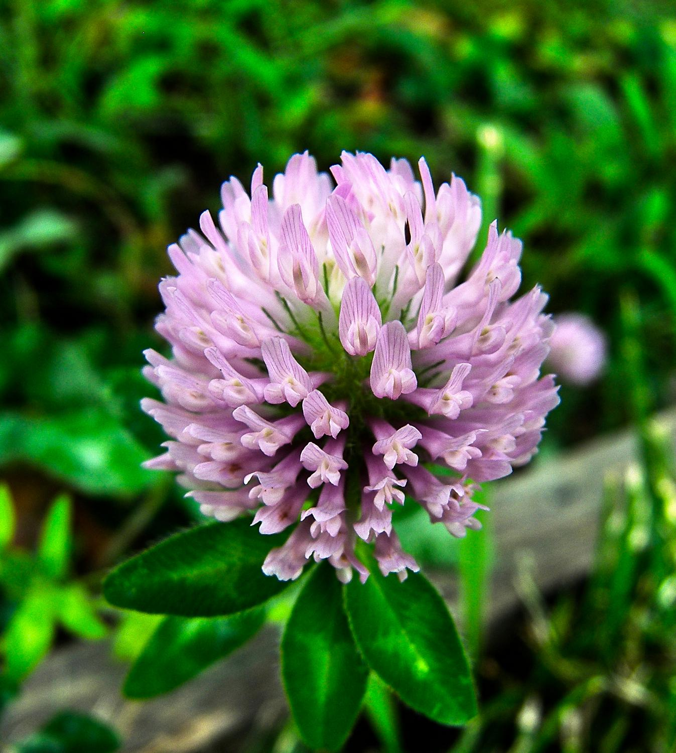 - Big pink clover - - art  - photography - by Tony Karp