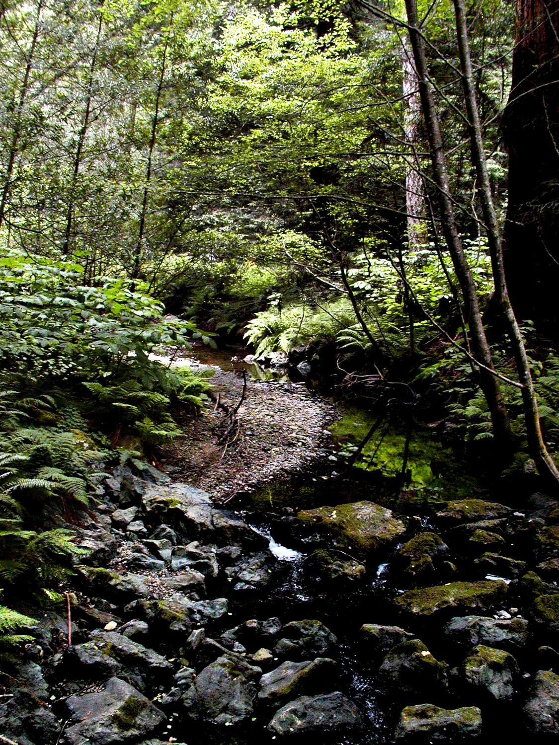 - A stream in the Muir Woods. - - Olympus C-2100UZ - Olympus C-2100 Ultra Zoom - - art  - photography - by Tony Karp