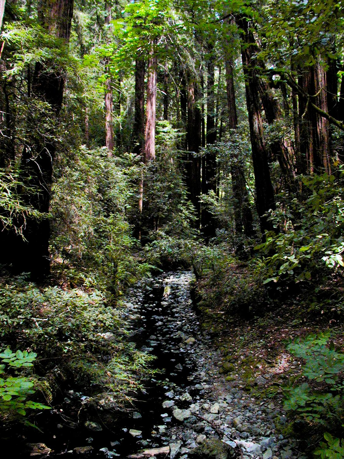 - Another view of the Muir Woods. - - Olympus C-2100UZ - Olympus C-2100 Ultra Zoom - - art  - photography - by Tony Karp