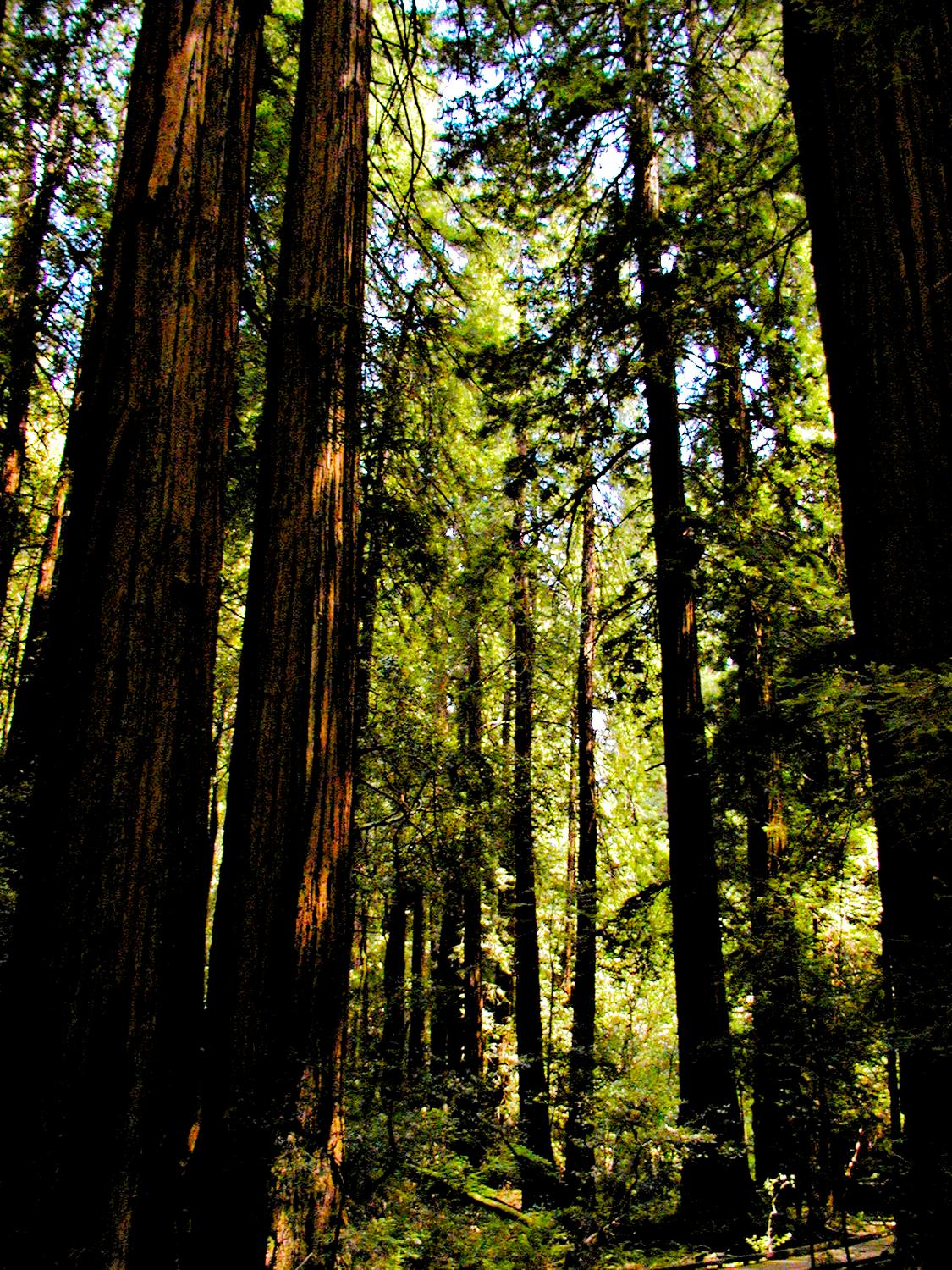 - Really tall trees in the Muir Woods. - - Olympus C-2100UZ - Olympus C-2100 Ultra Zoom - - art  - photography - by Tony Karp