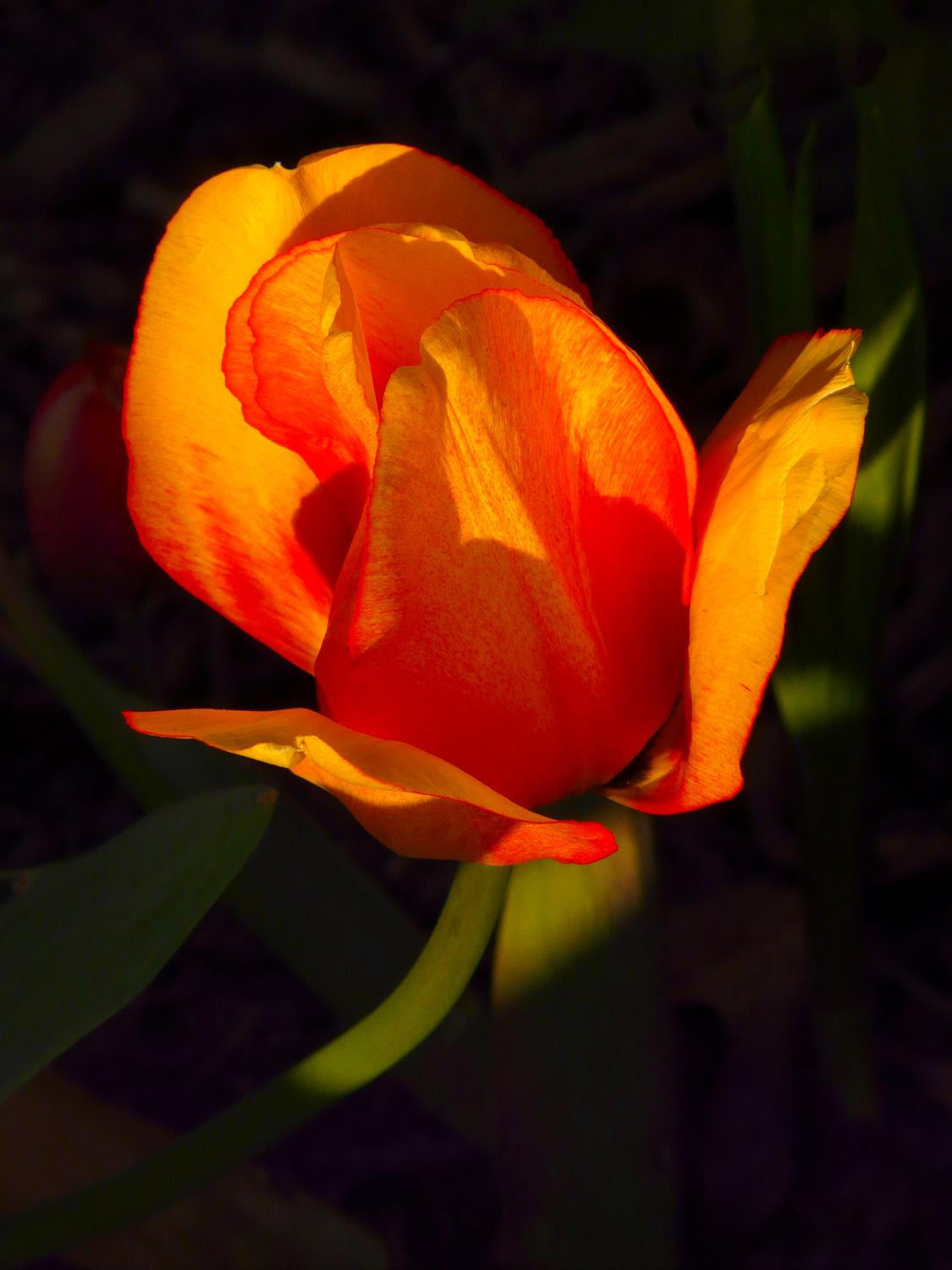 Tulip grown by The Artist's Muse - #22 - Tulip #22 - - art  - photography - by Tony Karp