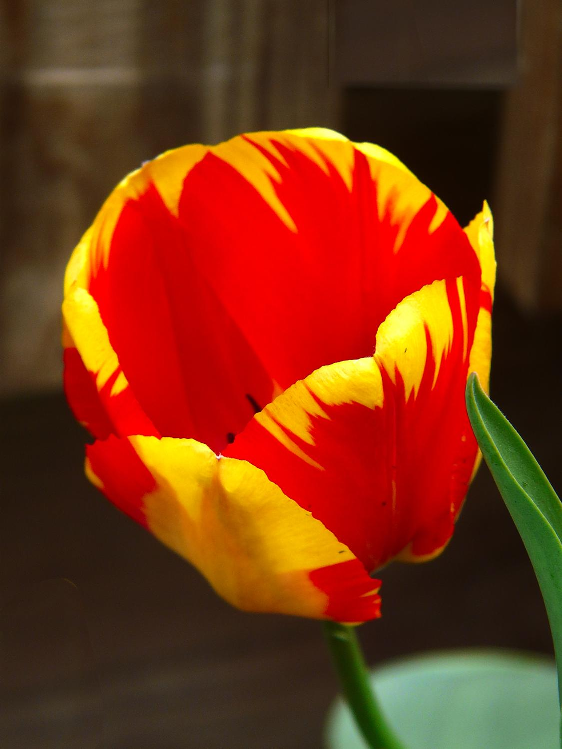 Tulip grown by The Artist's Muse - #8 - Tulip #8 - - art  - photography - by Tony Karp