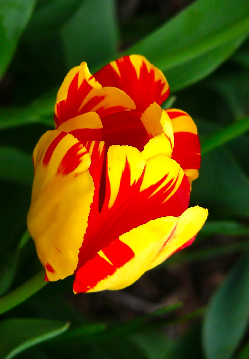 Tulip grown by The Artist's Muse - #10 - Tulip #10 - - art  - photography - by Tony Karp