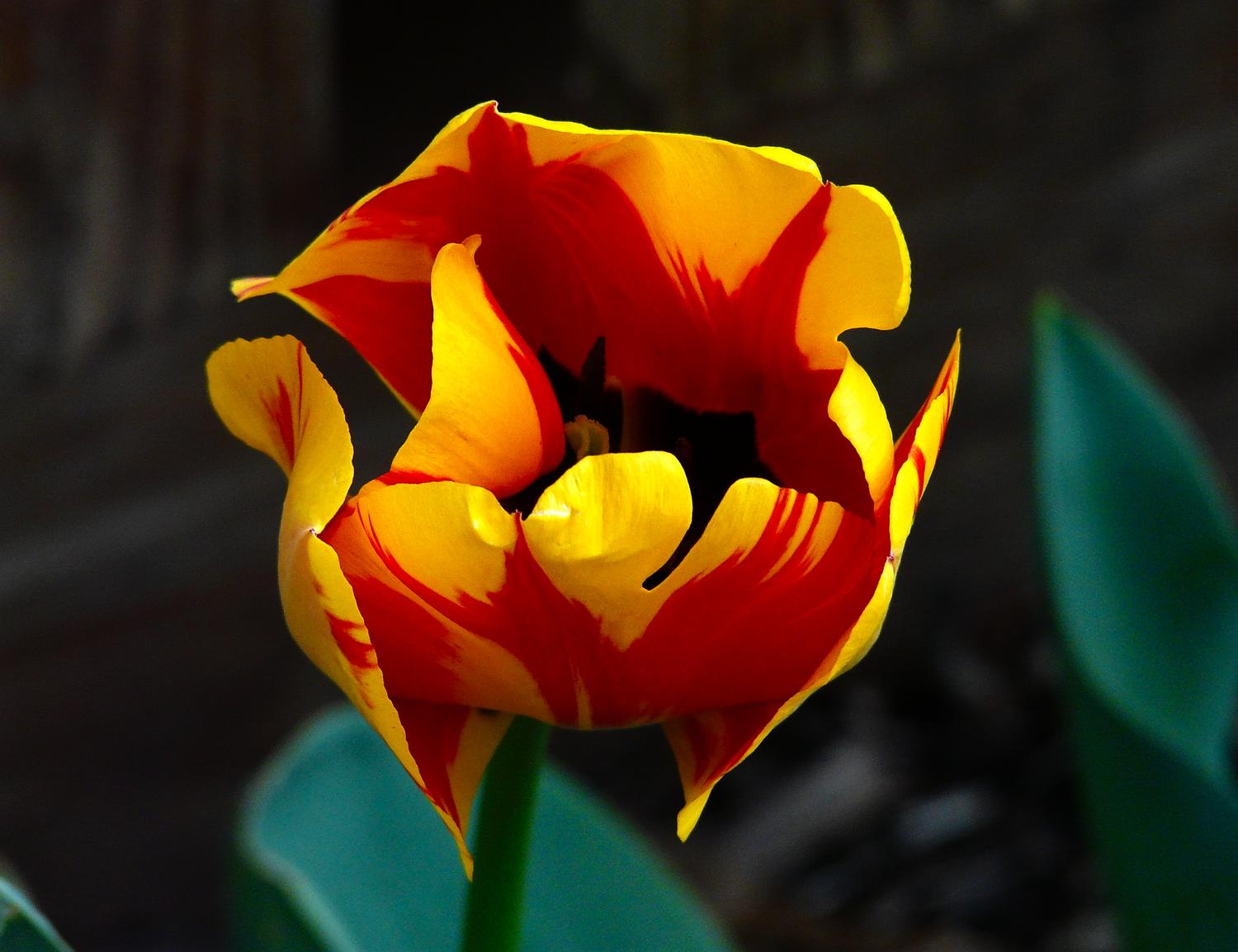Tulip grown by The Artist's Muse - #1 - Tulip #15 - - art  - photography - by Tony Karp