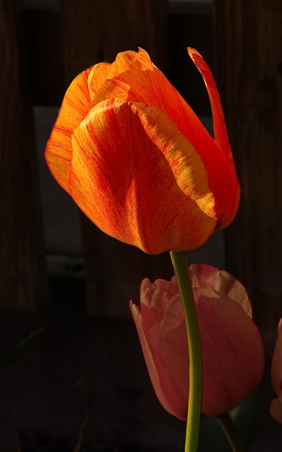 Tulip grown by The Artist's Muse - #4 - Tulip #4 - - art  - photography - by Tony Karp