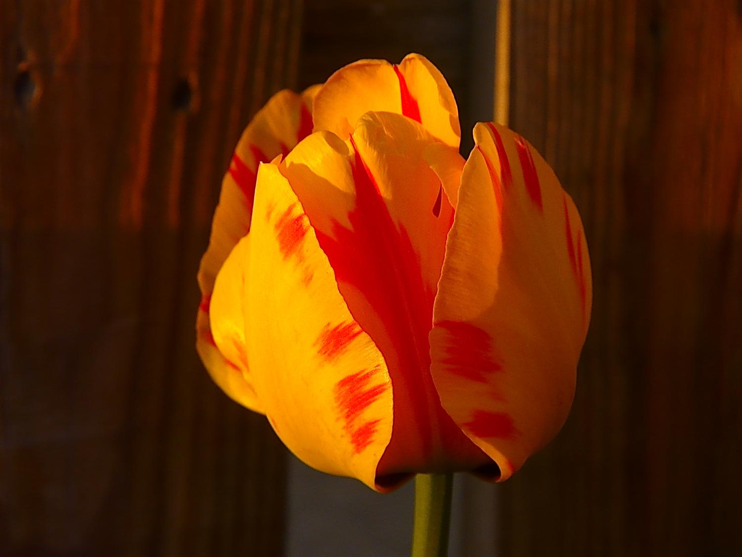 Tulip grown by The Artist's Muse - #1 - Tulip #14 - - art  - photography - by Tony Karp