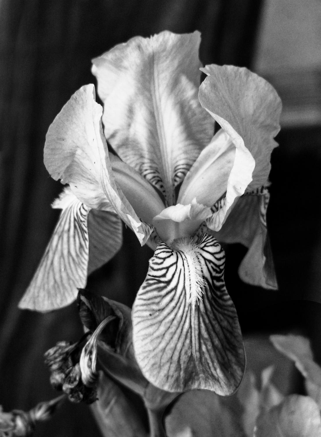 - The Iris, reduced to black and white. - Panasonic DMC-FZ18 - iris - many variations on one photograph - - art  - photography - by Tony Karp