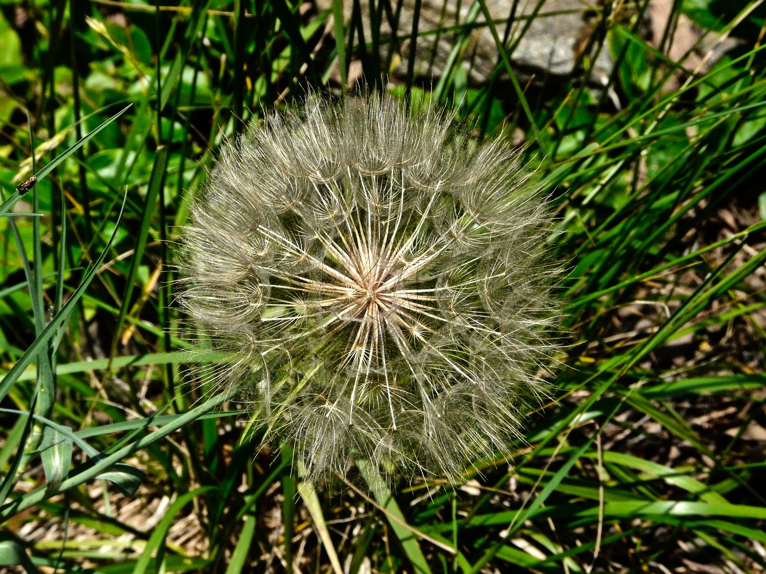 - We thought this was a giant, mutant dandelion puffball, but it's actually salsify, sometimes called  goatsbeard. - Panasonic DMC-FZ18 - - art  - photography - by Tony Karp