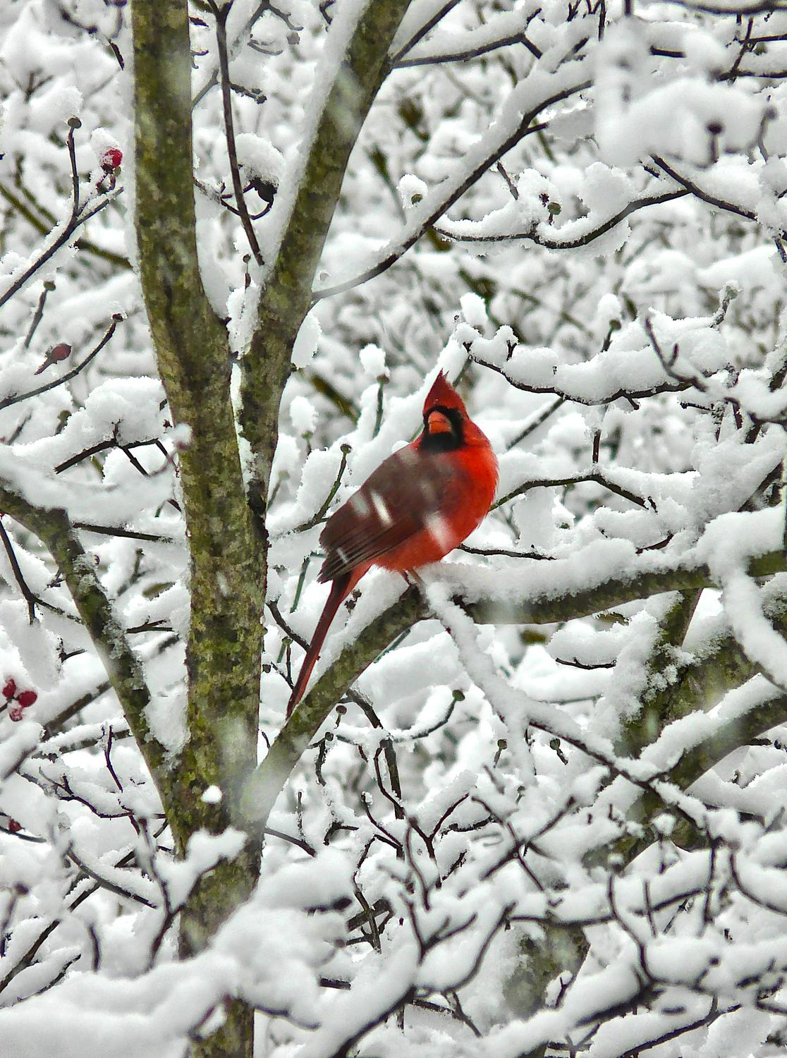 -  Panasonic DMC-FZ18 - Mr. Cardinal sits in a snowy tree. - - art  - photography - by Tony Karp