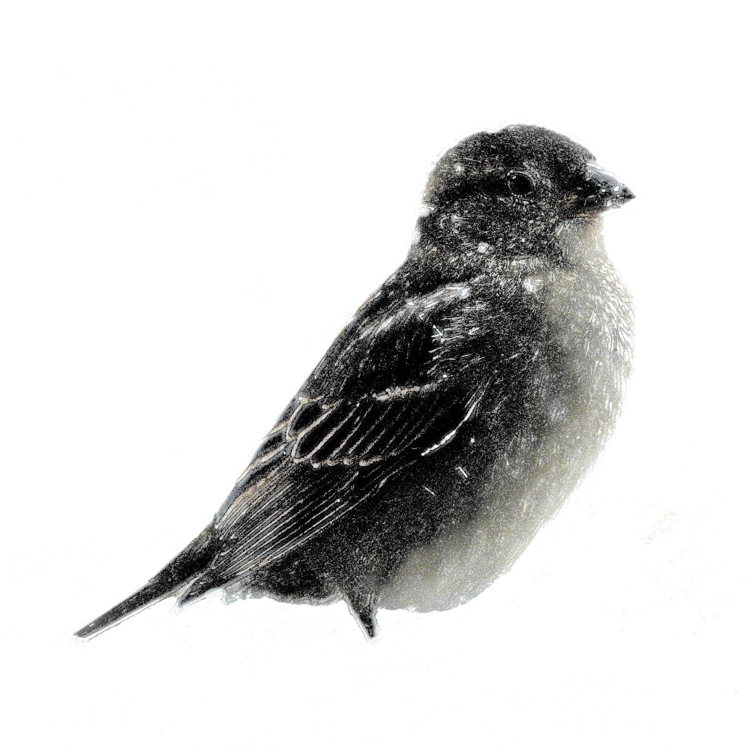 -  Panasonic DMC-FZ18 - Small bird in the snow in the manner of a mezzotint. - - art  - photography - by Tony Karp