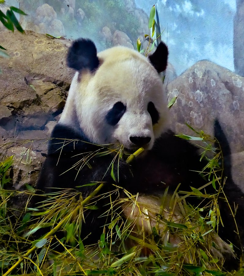 - Mr. Panda enjoys bamboo for lunch, <br> and for breakfast, <br> and for dinner. - - Panasonic DMC-LF1 - Washington DC National zoo - - art  - photography - by Tony Karp