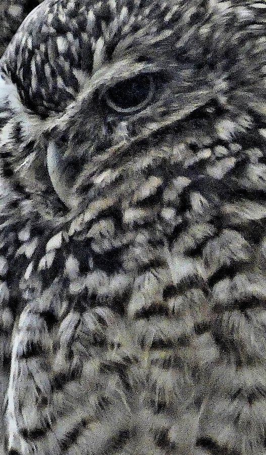- Mr. Owl, close up, displays an impressionistic demeanor. - - Panasonic DMC-LF1 - Washington DC National zoo - - art  - photography - by Tony Karp